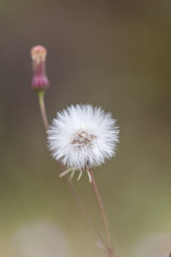 Flores blancas hermosas del diente de león foto de archivo libre de regalías