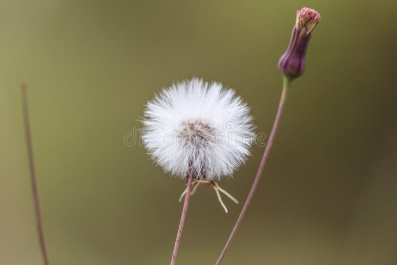 Flores blancas hermosas del diente de león imagen de archivo