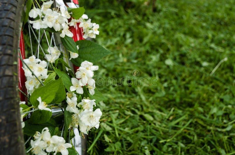 Flores blancas hermosas del jazmín en la rueda de una bicicleta vieja roja contra la perspectiva de árboles verdes, de la hierba  imagen de archivo