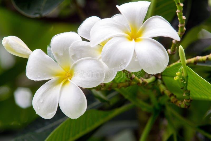 Flores blancas hermosas del plumeria fotografía de archivo libre de regalías