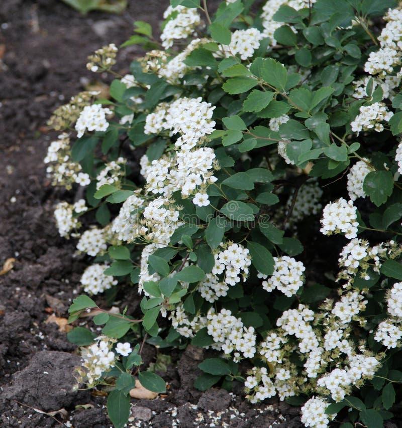 Flores blancas hermosas en Bush verde imagen de archivo libre de regalías