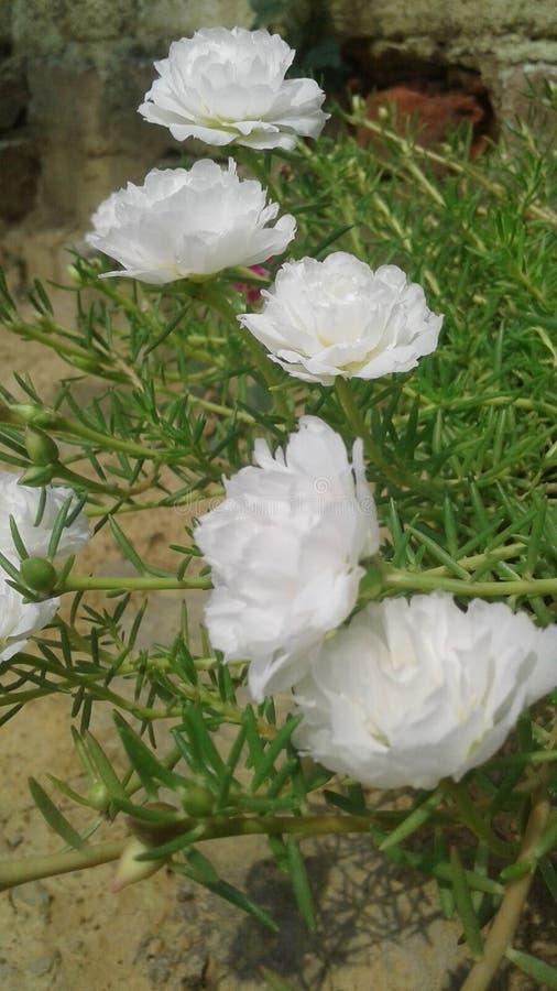 Flores blancas hermosas que enywhere cada vez mayor fotos de archivo