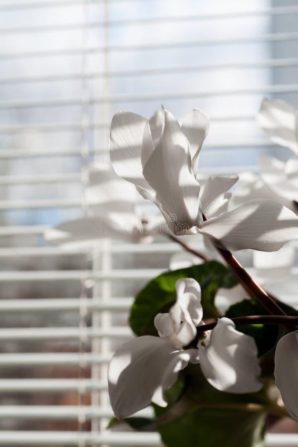Flores blancas que colocan la ventana cercana de la oficina foto de archivo