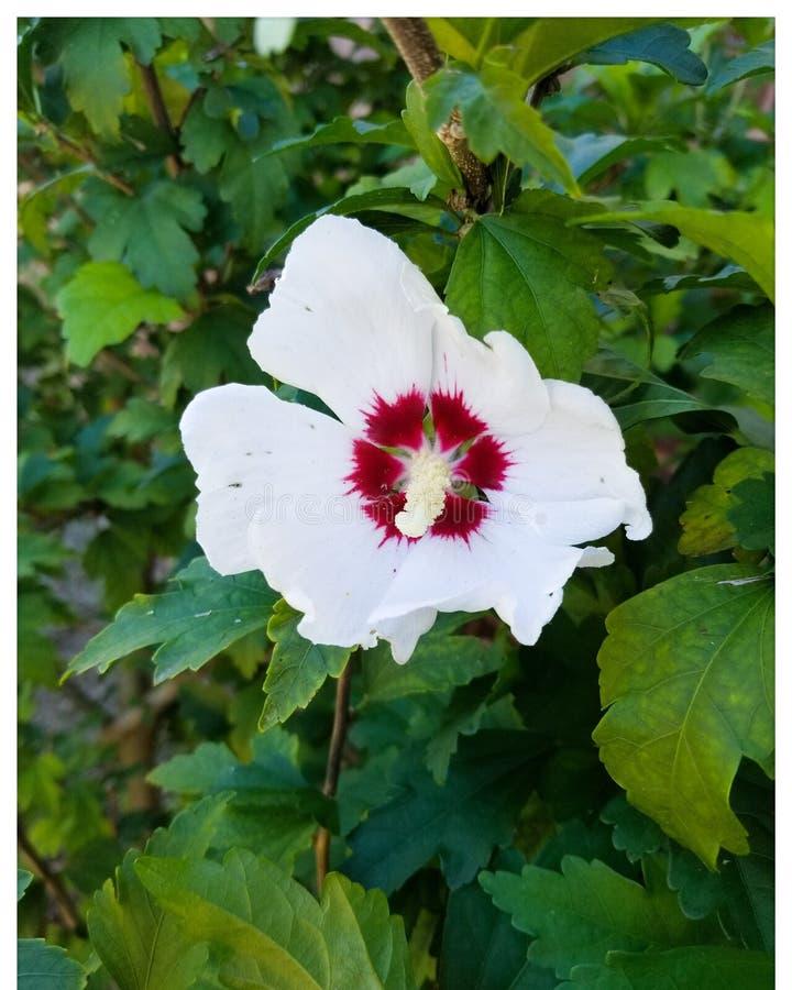 Flores blancas/rojas imagen de archivo