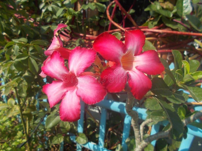 Flores blancas rojas del adehium en la planta imagenes de archivo