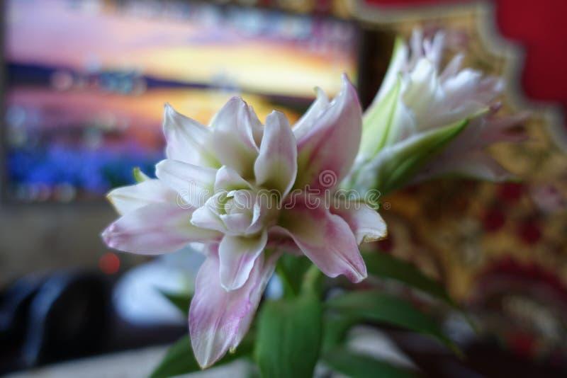 Flores blancas rosáceas de apertura de lirios dobles imagenes de archivo