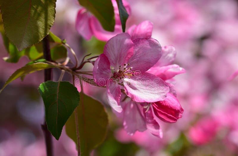 Flores blancas rosáceas de la primavera del árbol frutal - manzano ornamental del jardín imagen de archivo libre de regalías