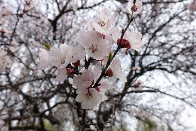 Flores blancas rosáceas del albaricoque en primavera foto de archivo