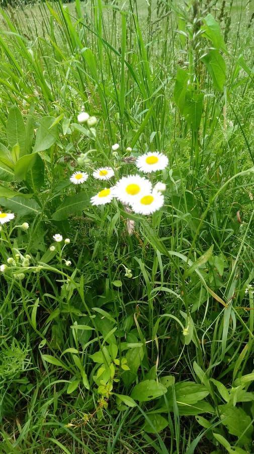 Flores blancas simples en un campo verde imagen de archivo libre de regalías