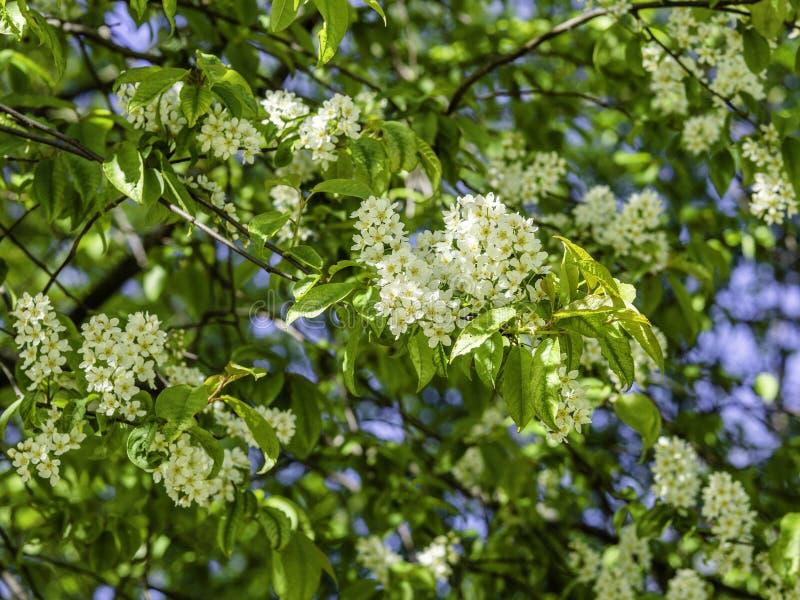 Flores blancas sospechadas de la almecina, padus del Prunus fotografía de archivo