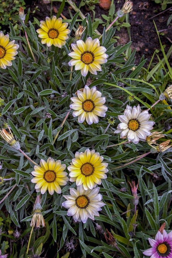 Flores blancas y amarillas del gazania fotografía de archivo