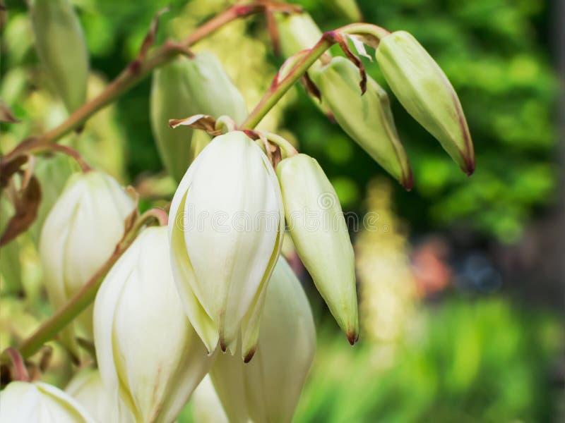 Flores blancas y brotes de la yuca floreciente en un fondo borroso verde en un día de verano soleado en ciudad imagenes de archivo