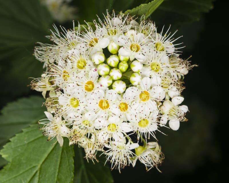 Flores blancas y brotes del Spiraea, meadowsweet, primer del fondo, foco selectivo, DOF bajo imagen de archivo