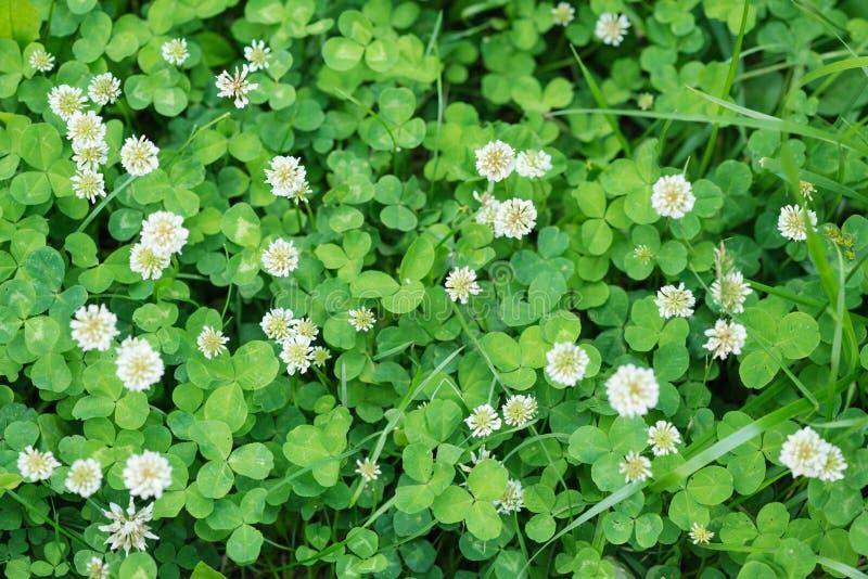 Flores blancas y hojas verdes del trébol fotos de archivo libres de regalías