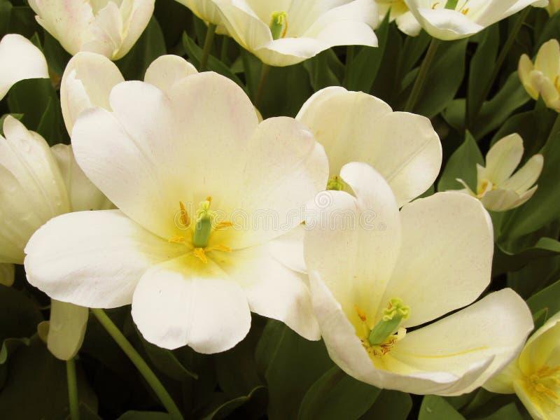 Flores blancas y puras fotografía de archivo libre de regalías