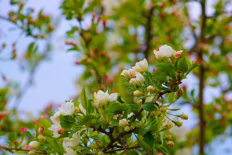 Flores blancas y rojas Apple imagenes de archivo