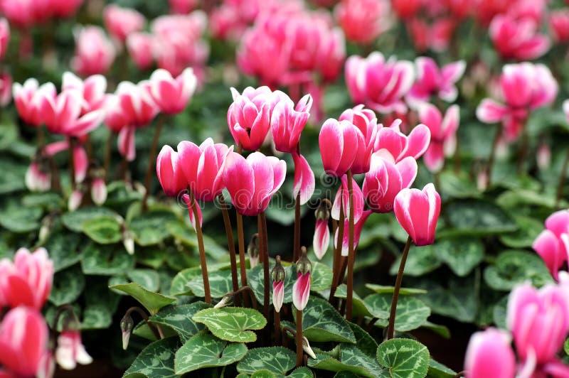 Flores blancas y rosadas abigarradas del ciclamen foto de archivo libre de regalías