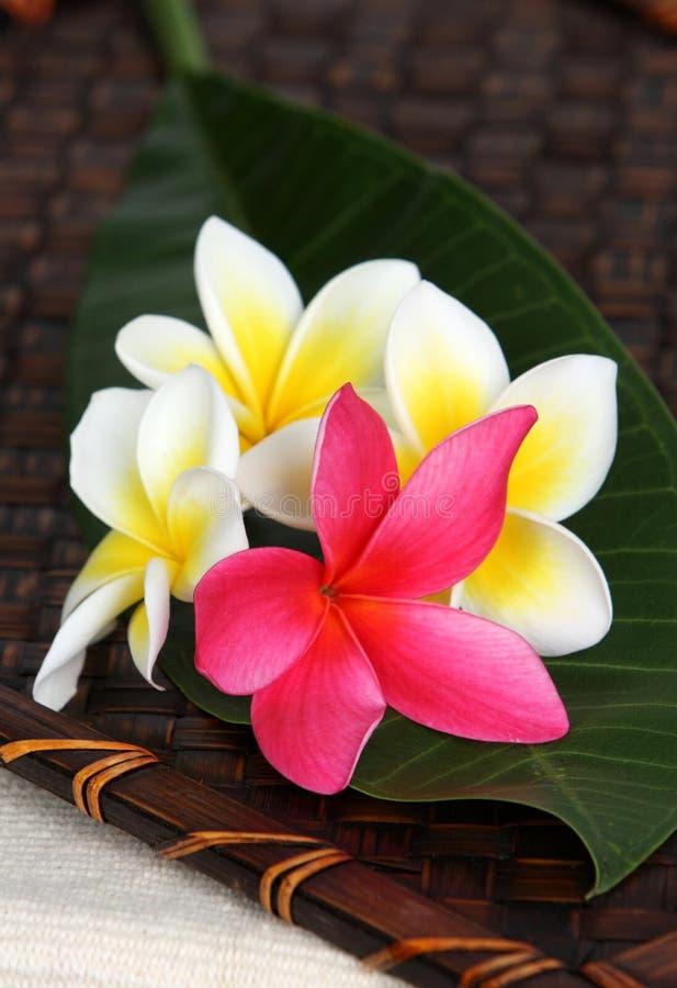 Flores blancas y rosadas de Frangiapani fotos de archivo libres de regalías