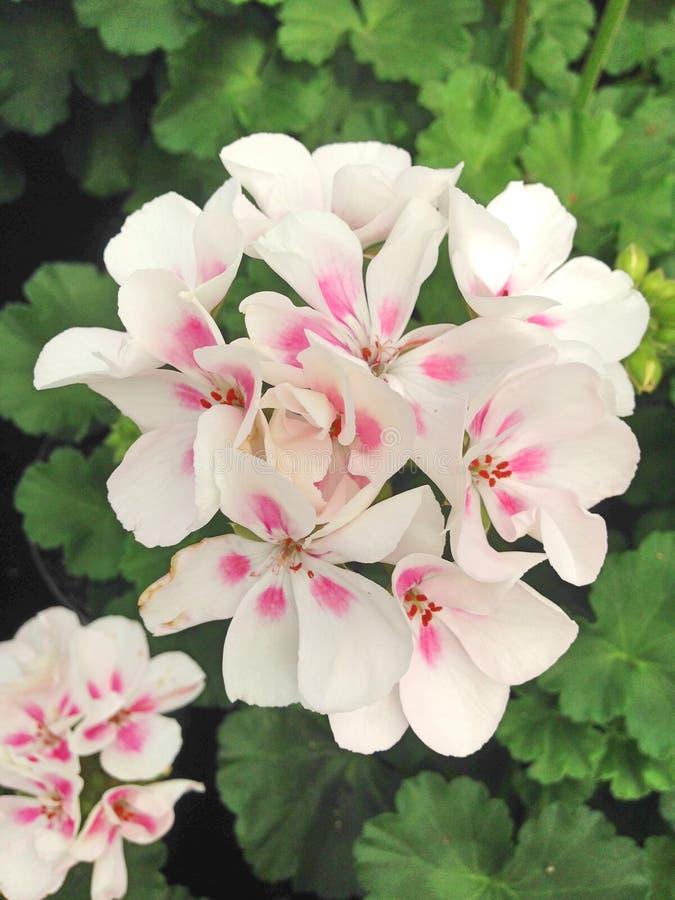 Flores blancas y rosadas de Gernium del Pelargonium imágenes de archivo libres de regalías