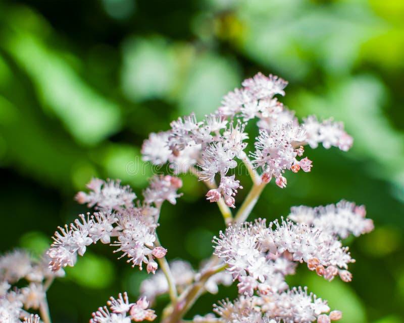 Flores blancas y rosadas del Spiraea Japonica Meadowsweet Foco selectivo fotos de archivo