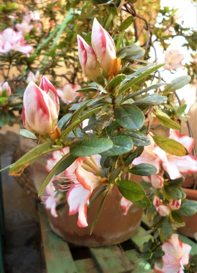 flores blanco-rosadas de Azalea Rhododendron en primavera imágenes de archivo libres de regalías