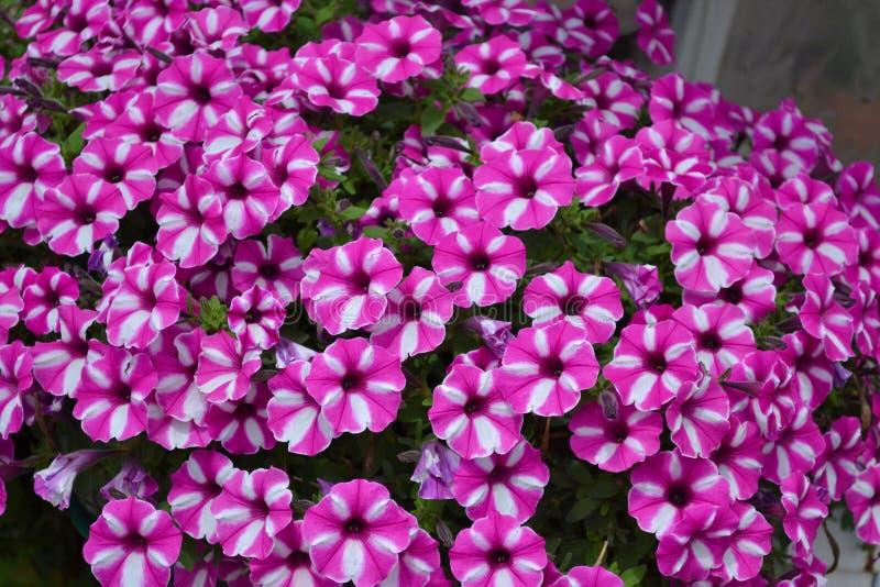 flores Blanco-rosadas de camas de flor Paniculata del polemonio del polemonio del jardín Fondo natural Plantas ornamentales del j imagenes de archivo