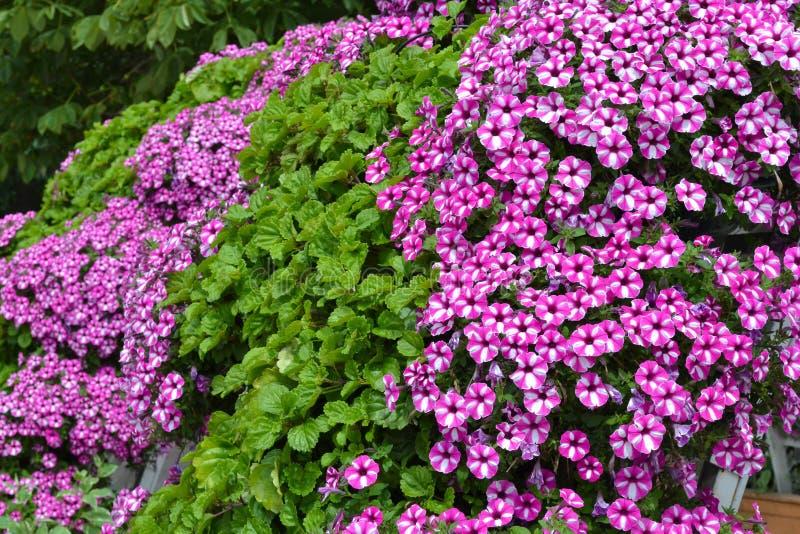 flores Blanco-rosadas de camas de flor Paniculata del polemonio del polemonio del jardín Fondo natural Plantas ornamentales del j imagen de archivo libre de regalías