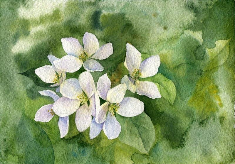 Flores blancos de la manzana de la acuarela ilustración del vector