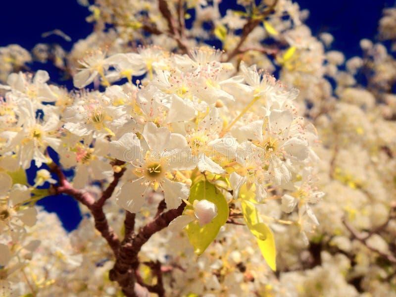 Flores blancos de la primavera foto de archivo