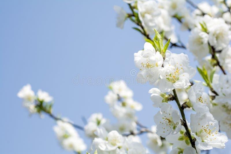 Download Flores Blancos Del Melocotón Foto de archivo - Imagen de belleza, blanco: 64203272