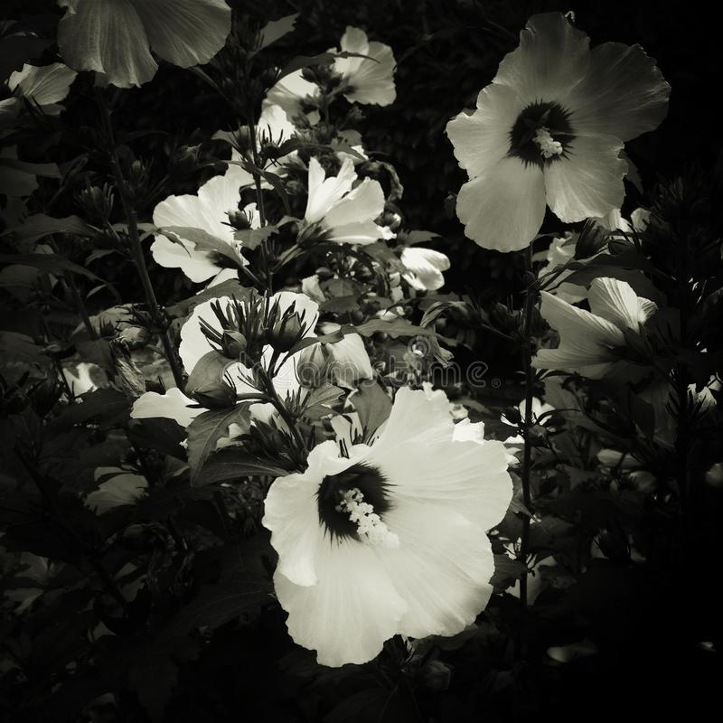 Flores blancos y negros fotografía de archivo libre de regalías