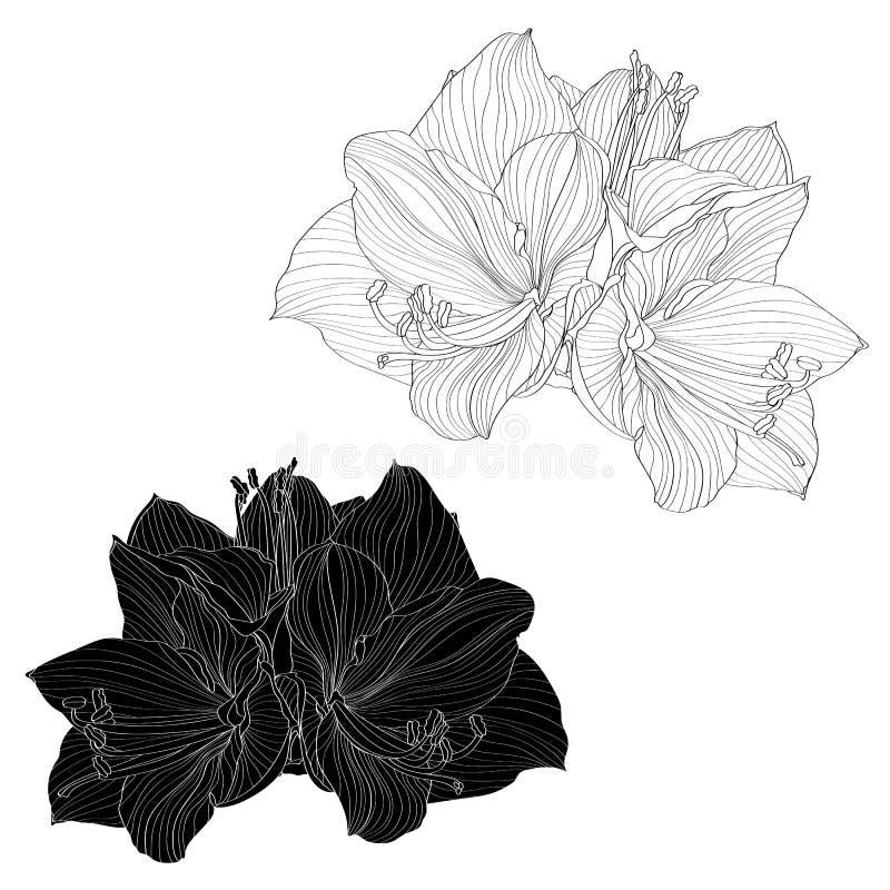 Flores blancos y negros sistema, elementos de la amarilis decorativa del diseño Puede ser utilizado para las tarjetas, invitacion libre illustration