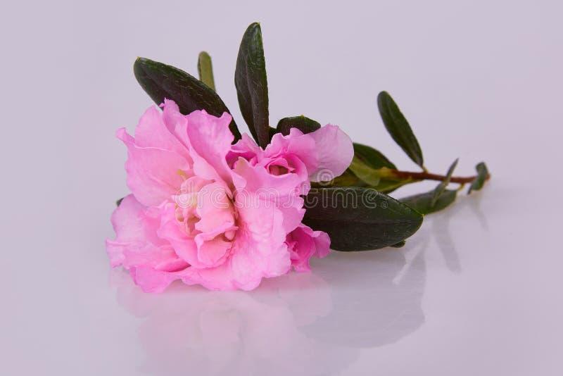 Flores blosseming cor-de-rosa da azálea em um ramo isolado foto de stock