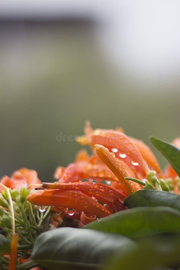 Flores bonitas alaranjadas com pingos de chuva em um dia chuvoso imagens de stock