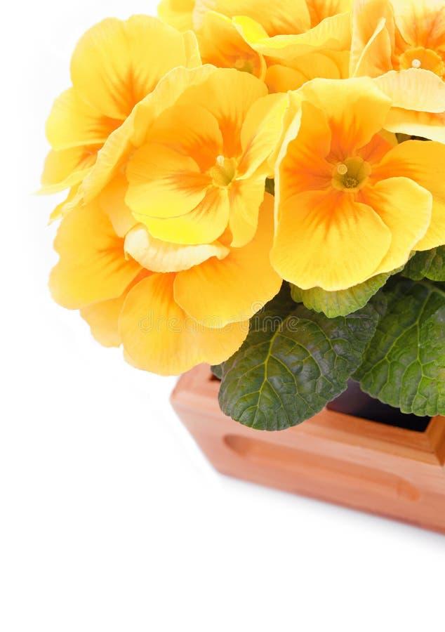Flores bonitas amarelas do primerose foto de stock royalty free