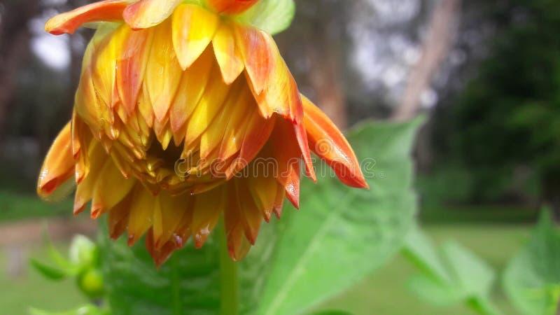 Flores bonitas com mais pétalas fotos de stock