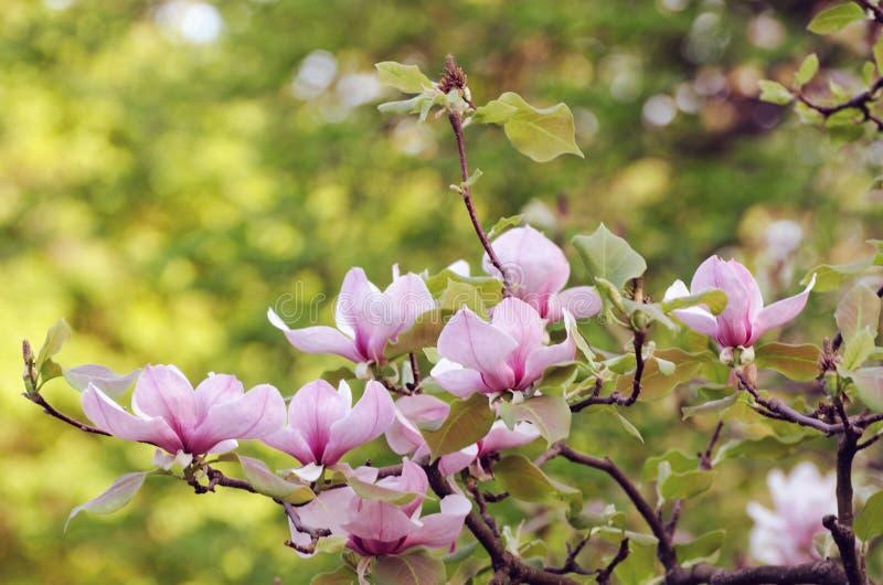 Flores bonitas da árvore da magnólia na primavera Flor da magnólia de Jentle contra a luz do por do sol imagem de stock