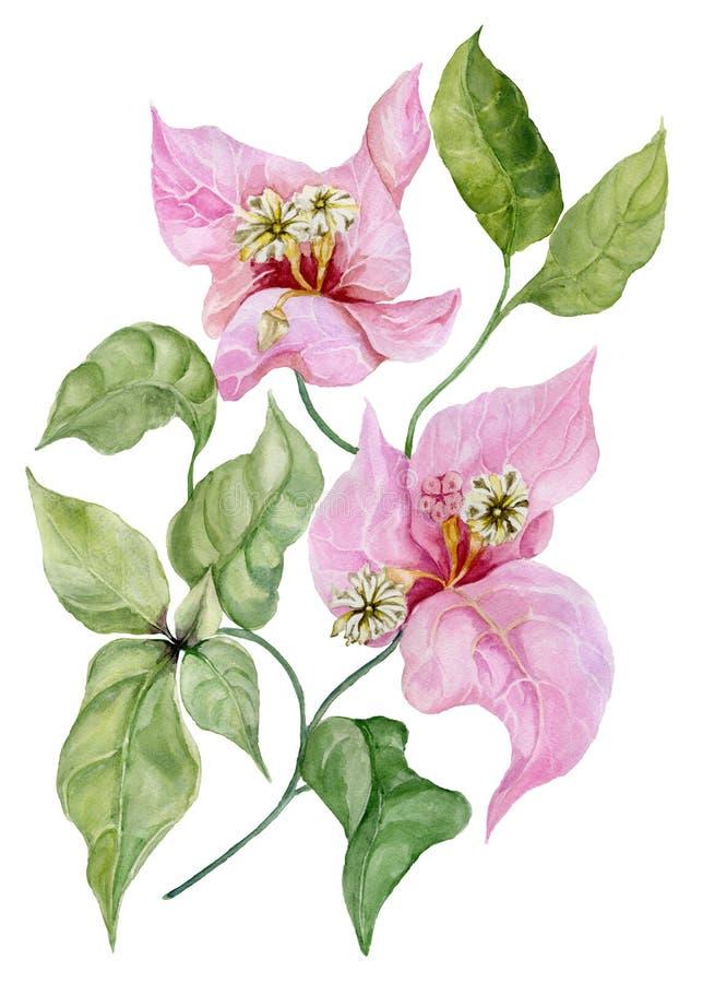 Flores bonitas da buganvília em um galho com folhas verdes Isolado no fundo branco Pintura da aguarela ilustração royalty free
