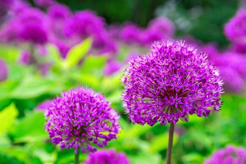 Flores bonitas da cor roxa do Allium da cebola, jardim, natureza, mola Globo-como a flor roxa vibrante das flor-cabeças foto de stock