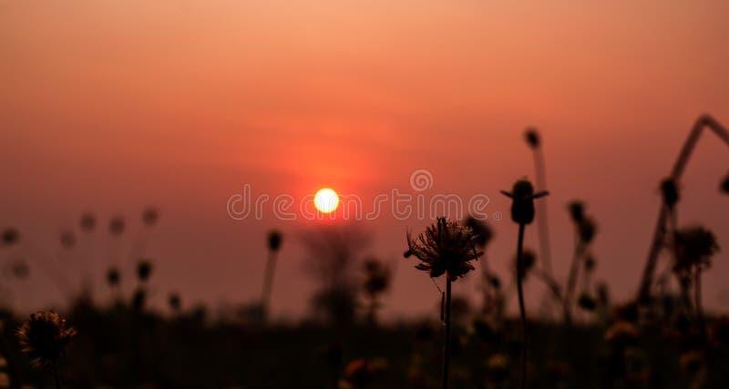 Flores bonitas da grama seca com fundo do céu do por do sol na paisagem do campo, conceito exterior da natureza imagem de stock