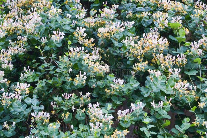 Flores bonitas da madressilva no jardim foto de stock royalty free