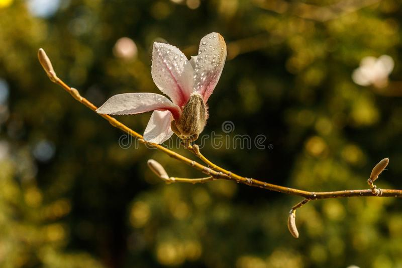Flores bonitas da magnólia com gotas de água foto de stock