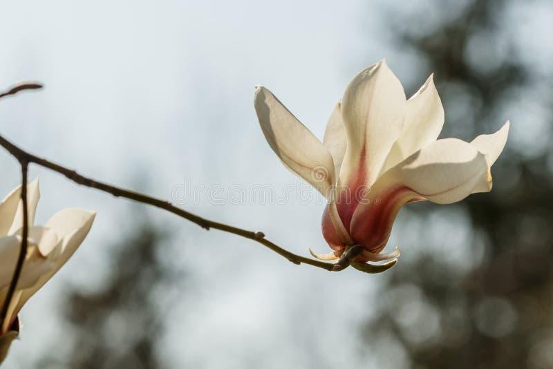 Flores bonitas da magnólia com gotas de água fotografia de stock