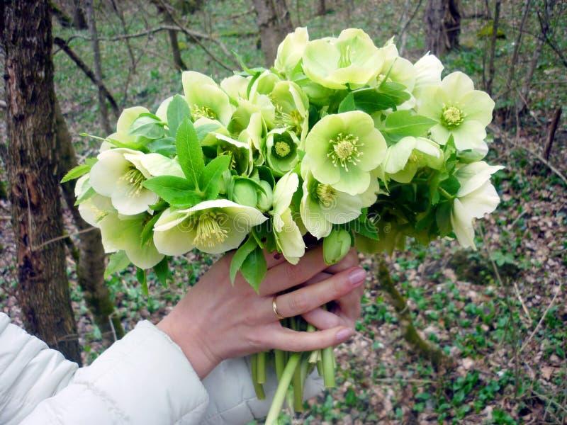 Flores bonitas da mola nas mãos de uma menina fotos de stock