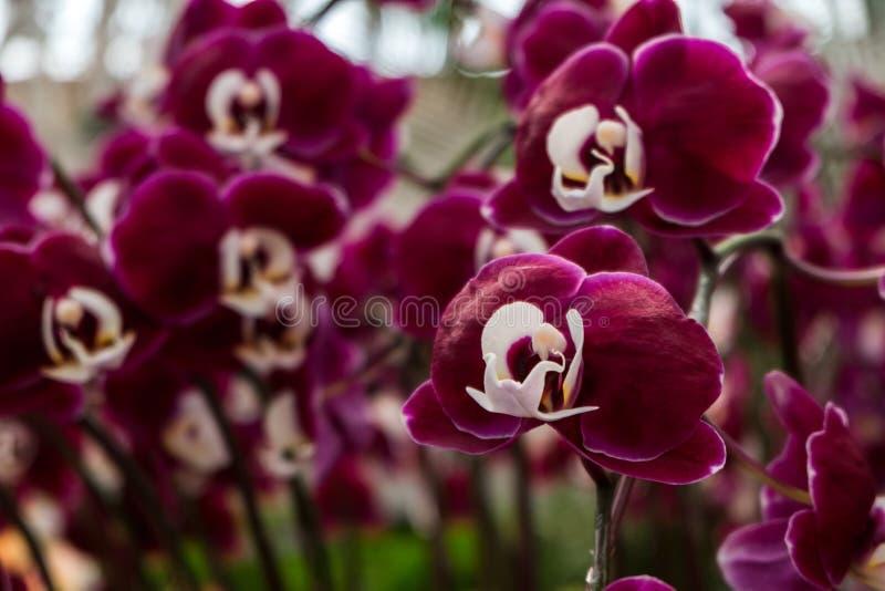 Flores bonitas da orquídea do fundo do dia de são valentim da celebração dentro imagem de stock