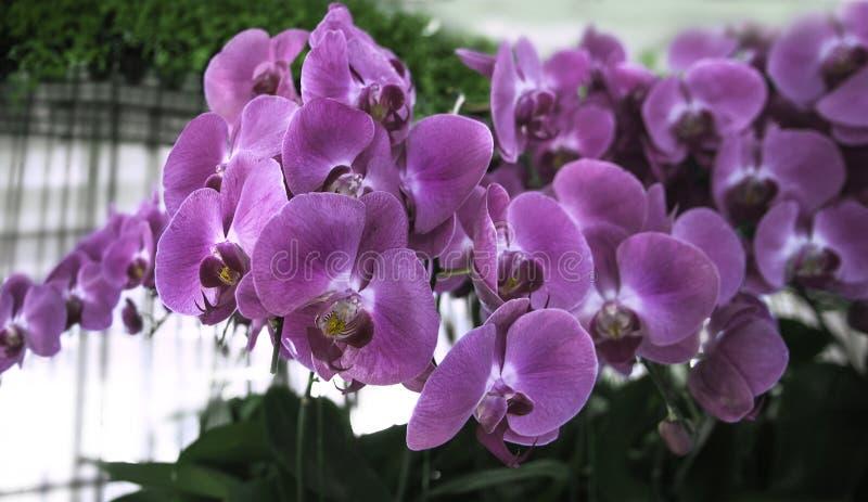 Flores bonitas da orqu?dea na estufa O ¡ de Ð perde acima da vista As flores delicadas roxas da orqu?dea s?o luz brilhante recolh imagens de stock