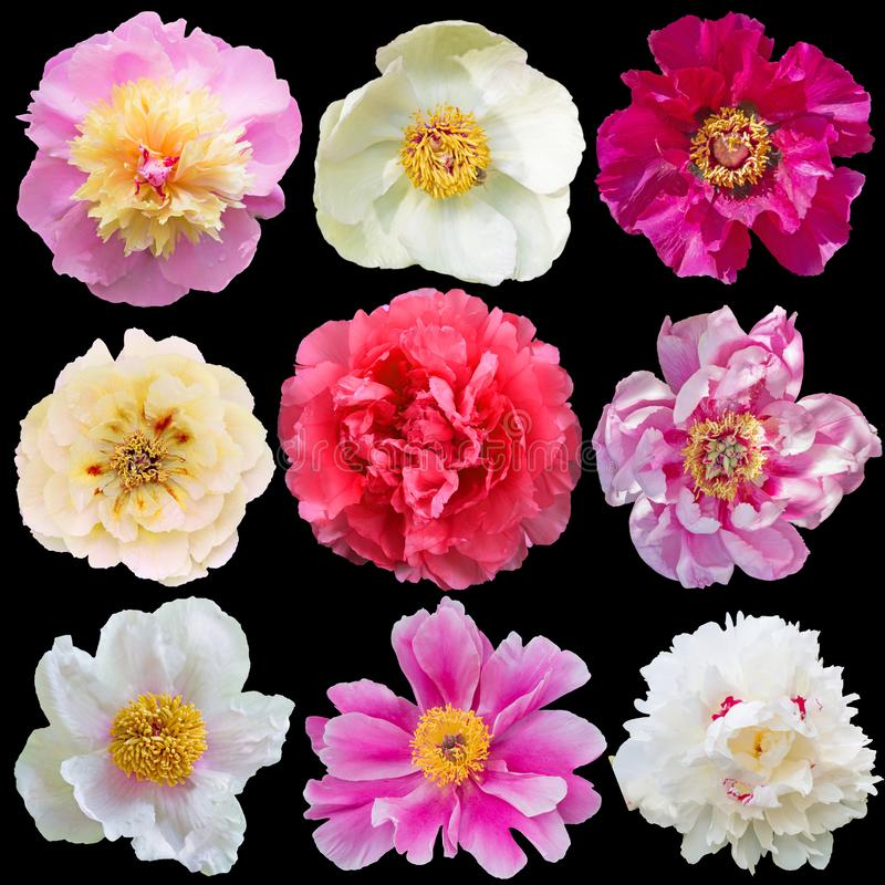 Flores bonitas da peônia isoladas no fundo preto fotografia de stock royalty free