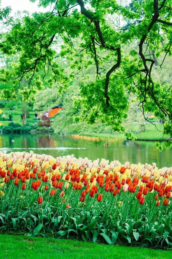 Flores bonitas da tulipa no jardim de Keukenhof na Holanda Flores coloridas na primavera foto de stock