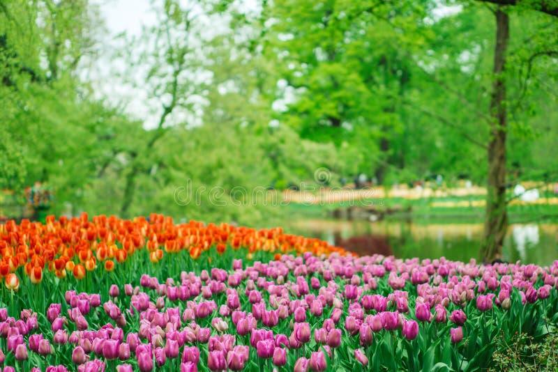 Flores bonitas da tulipa no jardim de Keukenhof na Holanda Flores coloridas na primavera fotos de stock