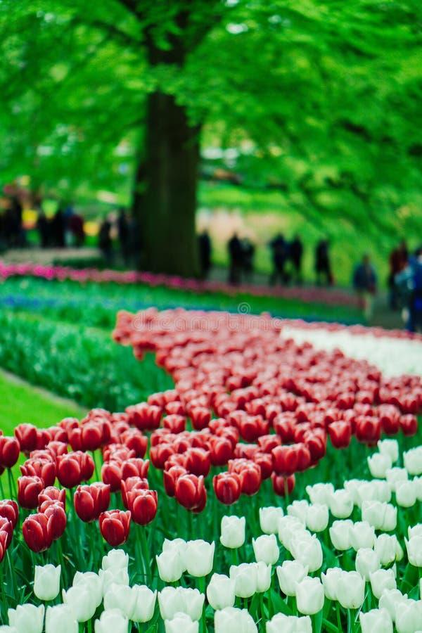 Flores bonitas da tulipa no jardim de Keukenhof na Holanda Flores coloridas na primavera fotos de stock royalty free